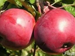 Саженцы яблони сорт Дарунак
