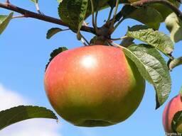 Саженцы яблони Сорт Вербное
