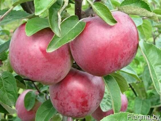 Саженцы яблони Весялина