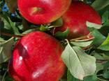 Саженцы Яблони Зимние - фото 8