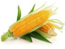 "Семена гибрида кукурузы ""Артуро"" фао 220 (Saatbau, Австрия)"