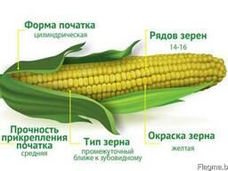 Семена гибрида кукурузы Батурин 287 МВ
