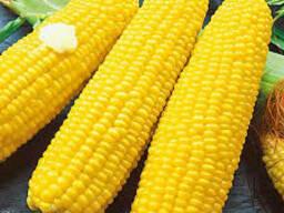 Семена гибрида кукурузы Саксафон Фао 220 (Rapool, Германия)