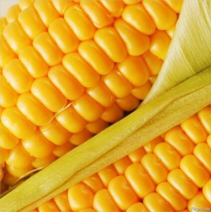 Семена гибридов кукурузы Ферум и ДН Гарант