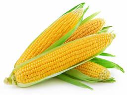 Семена гибридов кукурузы Немецкой селекции
