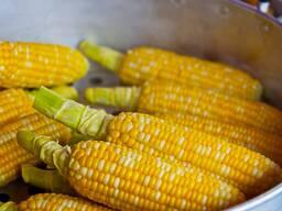 Семена гибридов Кукурузы Saaten Union