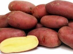 Семена картофеля Палац