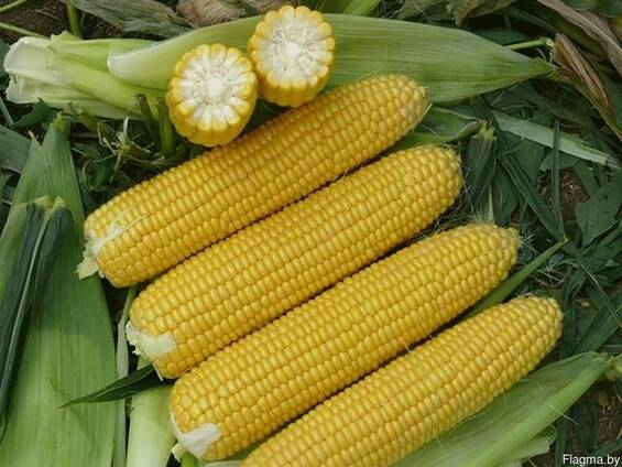 Семена кукурузы Бемо 203