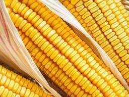 Семена кукурузы Краснодарский 194 МВ - фото 2