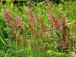 Семена овсяницы красной