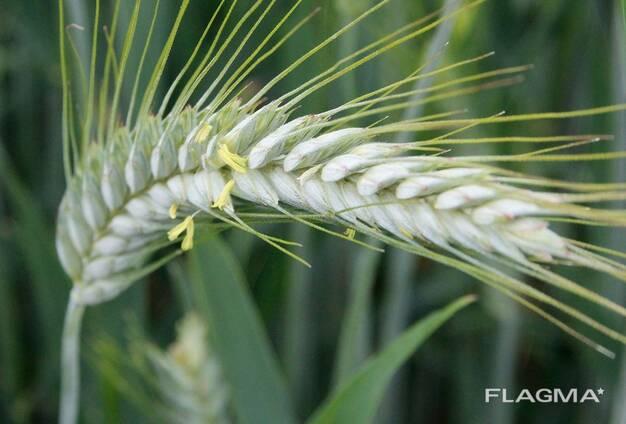 Семена озимой тритикале Динамо элита