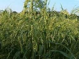 Семена просо кормового
