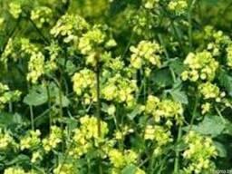 Семена редьки масличной