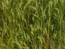 """Семена """"Суданская трава"""" (Сорго)"""