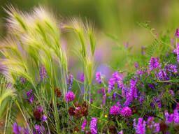 Семена трав кормовых и многолетних