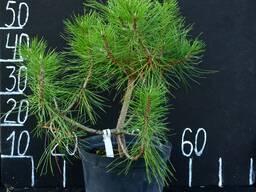 Сосна черная Пирамидалис (Pinus nigra Pyramidalis)