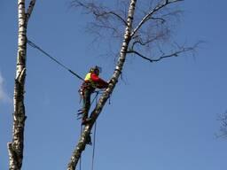 Спил деревьев арбористами . Удаление деревьев. Валка деревьев.