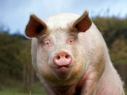 Свиней , свиноматок , откорм