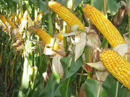 ТоначаСреднеспелый гибрид кукурузы