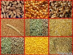 Тритикале, ячмень, пшеница, рожь. кукуруза