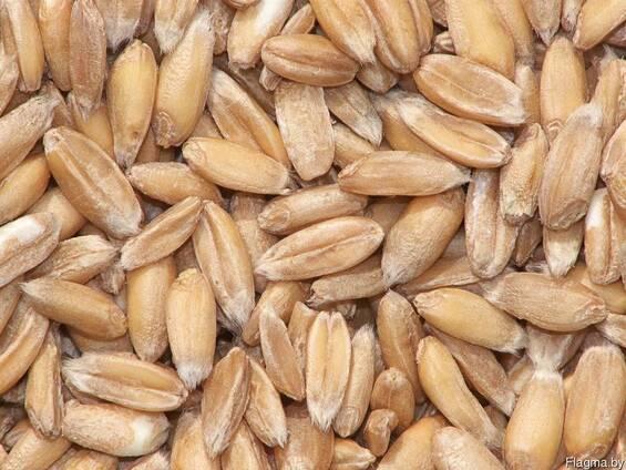 Тритикале зерно