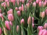 Тюльпаны оптом и в розницу. - photo 1
