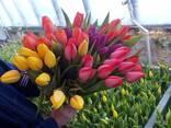 Тюльпаны оптом и в розницу. - photo 5
