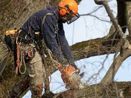 Удаление аварийных деревьев в Бресте.