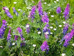 Вика озимая (Vicia sativa)