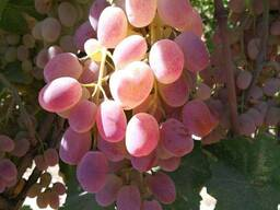Виноград сорта тоифи