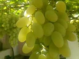 Виноград Узбекистан оптом все сорта