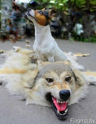 Волк шкуры волка