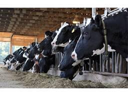 Коровы высокопродуктивные на продажу