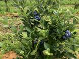 Взрослые кусты голубики высокорослой от 1,2 до 1,5 м - фото 1