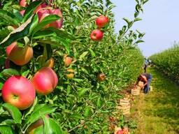 Яблоки 65 оптом 0,85 руб/кг с НДС собственное хозяйство.