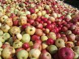Яблоко для переработки, промпереработки(опад) оптом. - фото 11