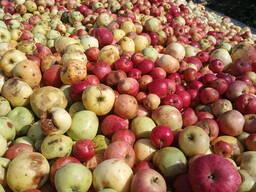 Яблоки опад. Оптом от 25 до 300 тонн. оплата сразу.