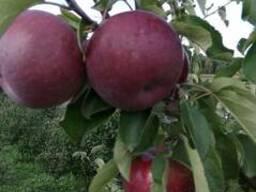 Яблоки оптом от фермера
