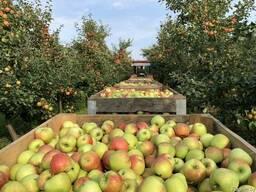 Яблоки разных сортов Беларусь Оптом
