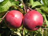 Яблоко товарное - photo 3