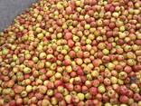 Яблоко для переработки, промпереработки(опад) оптом. - фото 5