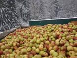Яблоко для переработки, промпереработки(опад) оптом. - фото 8