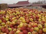 Яблоко для переработки, промпереработки(опад) оптом. - фото 3