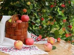 Яблоко (опад)