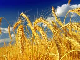 """Яровая пшеница """"Сударыня"""" элита"""