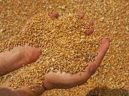 Закупаем фуражное зерно, высокая цена