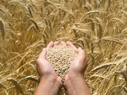 Закупаем фуражное зерно!