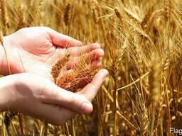 Закупаем фуражную пшеницу, ячмень, тритикале!