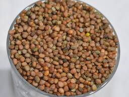 Куплю семена редьки масличной и горчицы