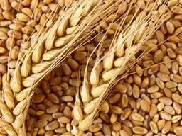 Закупаем зерно фуражное